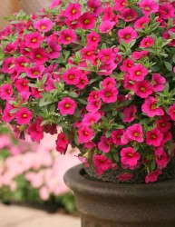 Calibrachoa 'Million Bells Brilliant Pink'