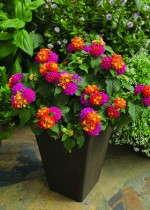 Lantana 'Bandana Cherry Sunrise' from Syngenta Flowers