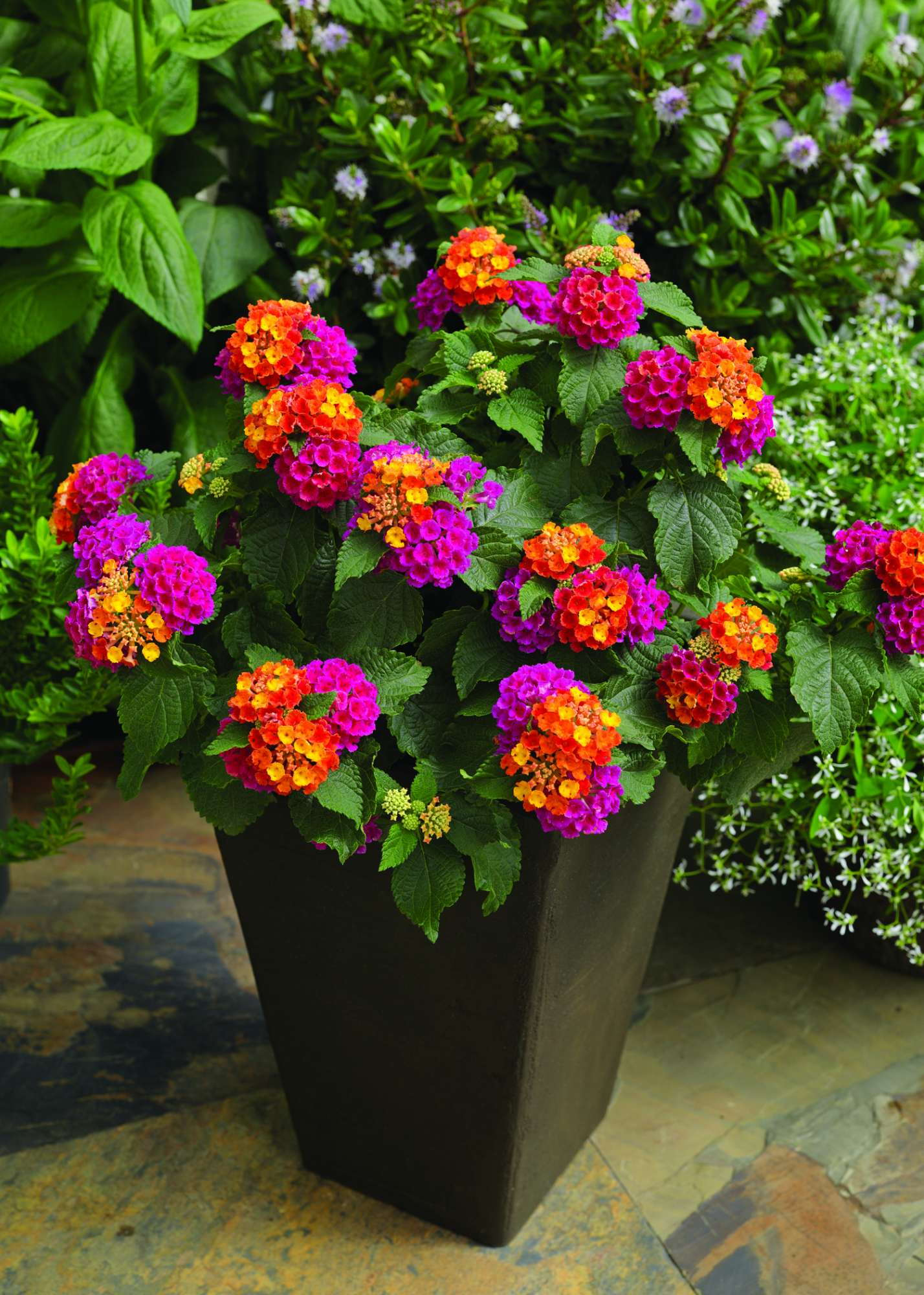 Lantana production tips greenhouse grower - Potted gardentricks beautiful flowers ...