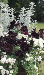 The Chic Black & White annuals mixes feature a varieties of black and white flower combinations.
