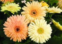 The National Garden Bureau's 2013 Crops of the Year Are…Gerbera