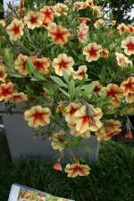 Calibrachoa 'Celebration Peach Cobbler'