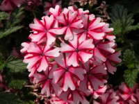 Verbena 'Lanai Candy Cane' at Welby Gardens' trials