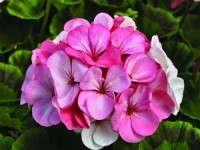 AAS Winner Geranium 'Pinto Premium White To Rose'