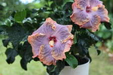 Hibiscus Tropic Escape series