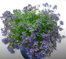 Diascia 'Blue Belle' from PlantHaven