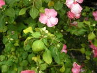 Impatiens downy mildew leaf yellowing and downward curling