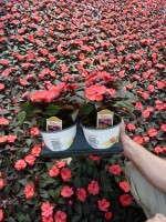 Impatiens 'SunPatiens Compact Deep Rose'