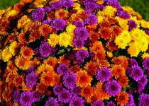 Cheryl Golden, Spicy Orange and Regal Purple