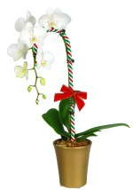 Phalaenopsis 'Waterfall' accessorized for Christmas.