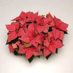 Selecta's 'Christmas Beauty Pink' poinsettia