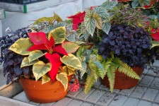 For the 2011 and 2012 seasons, Peace Tree Farms experimented with poinsettia combinations that included houseplants such as ferns, begonias, herbs and scented geraniums.