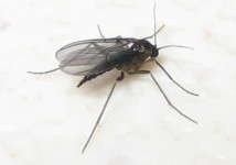 Female black fungus gnat        Photo credit EBKuai