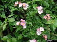 Multiflora rose fruit (rose hips)