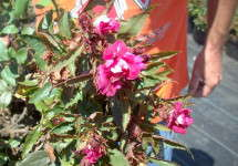 Rose rosette disease causes deformed flowers.