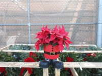 Some retailers got creative with their Christmas-time poinsettia marketing, like this Santa plant at Walmart.