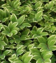 Polygonatum odoratum 'Variegatum'