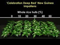 Cuttings of 'Celebration Deep Red' New Guinea impatiens propagated in substrates containing 50 percent peat moss and (from L to R) 0 to 50 percent whole rice hulls and 50 to 0 percent perlite.