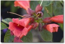 'Atomic Red' Trumpet Vine from First Editions