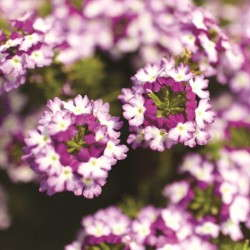 Verbena 'Lanai Twister Purple'