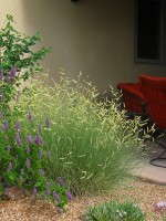 The airy seed heads of 'Blonde Ambition' boost the ornamental appeal of North American native, Bouteloua gracilis. Despite its delicate look, Blue Grama Grass is tough and drought-tolerant. Photo courtesy of David Salman.
