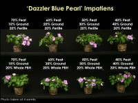 Fig. 1.  Growth and development of Impatiens 'Dazzler Blue Pearl' grown in substrates containing 20 percent perlite or whole parboiled rice hulls and (from L to R) 70 to 40 percent peat moss and 10 to 40 percent ground parboiled rice hulls after four weeks.