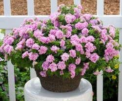 Petunia 'Surfinia Summer Double Pink'