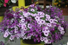 The Kwik Kombo Plumtastic Mix includes Lobelia 'Techno Heat Violet,' Petunia 'Whispers Lavender Eye' and Verbena 'Lanai Deep Purple'