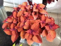 Coleus Red Fox