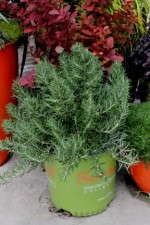'Chef's Choice' rosemary from the Sunset Western Garden Collection reportedly has twice the amount of oil content as traditional rosemary.