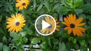 The Best PGR Concentrations To Use On Osteospermum