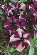 Petunia 'Pop-n-Polish Raspberry Superstar'
