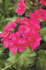 Pelargonium 'Two In One Shadow Violet'