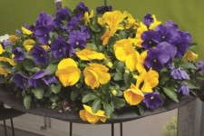 Viola 'Grandio Clear Colors Mix'