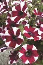 Petunia 'Cascadias Bicolor Cabernet'