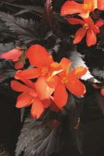 Begonia 'Unstoppable Big Fire' from Dümmen