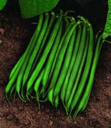 'Valentino' Bean from Seminis