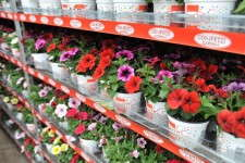 Confetti Garden mixes from Dümmen NA, Inc. are grown from three cuttings rooted in a liner and grown together to streamline container garden production.