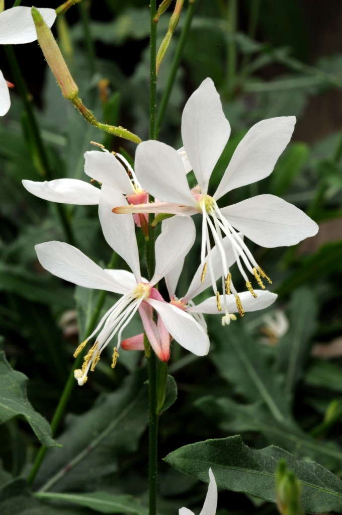 Gaura sparkle white wins 2014 aas award greenhouse grower - Tough perennial bloomers drought insect and pest resistant flowers ...