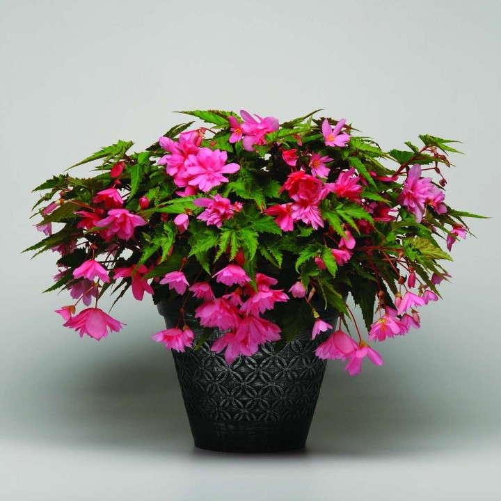 Begonia 'Breezy Pink'