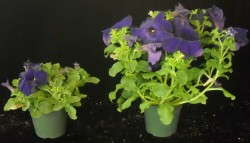 Fig. 1 Petunias finished  in cooler temperatures in an unheated high tunnel (left) were more compact than plants finished in a heated greenhouse (right).