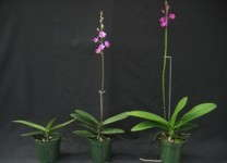 Phalaenopsis pulcherrima placed under a 9-hour (left) or a 14-hour (center) photoperiod for spiking. The plant on the right is a Doritenopsis 'Purple Gem,' a first-generation hybrid that naturally blooms in the summer.