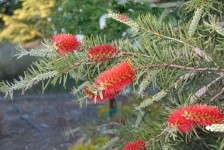 Callistemon 'Scarlet Torch'