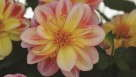 Dahlia Dalaya Shari from Selecta