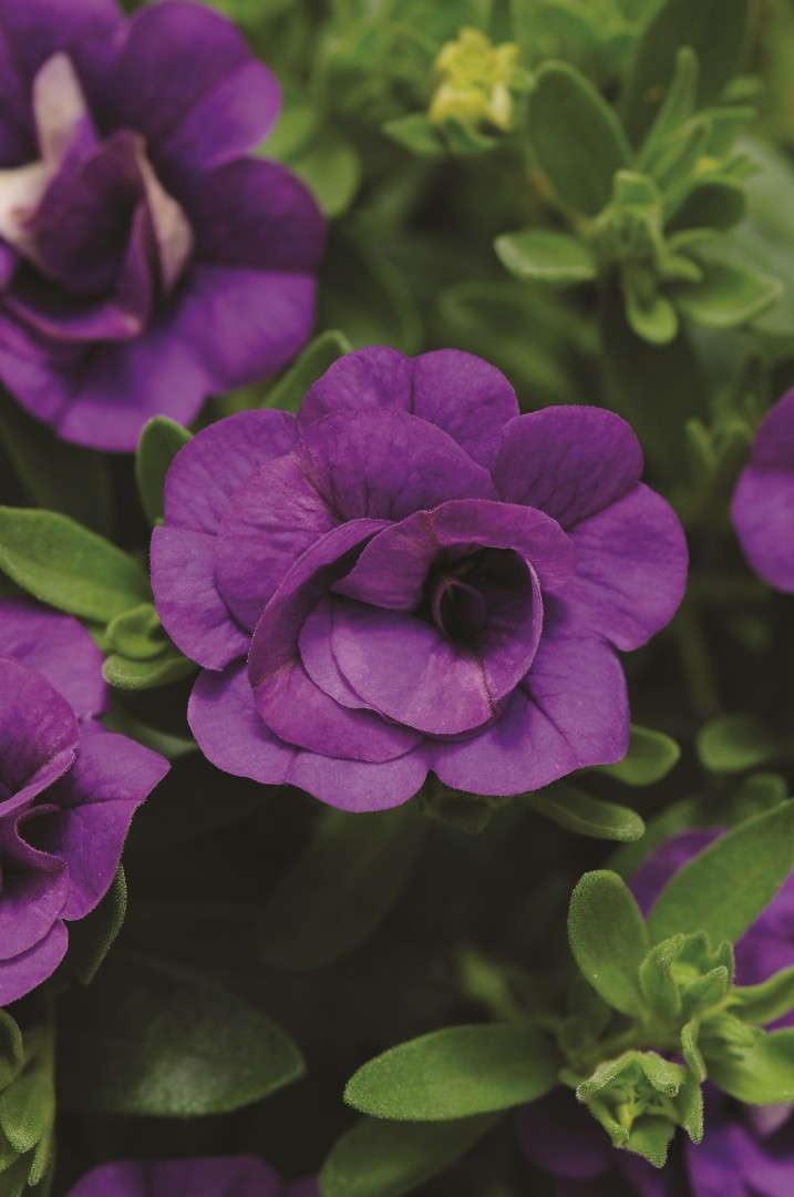 Calibrachoa 'Mini Famous Double Blue' from Selecta