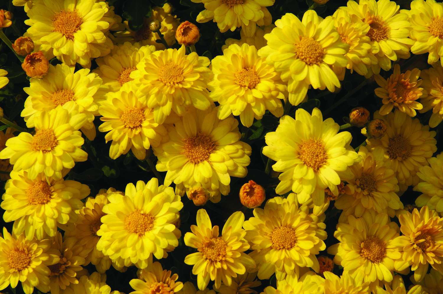 Chrysanthemum 'Sizzling Igloo' from Blooms Of Bressingham