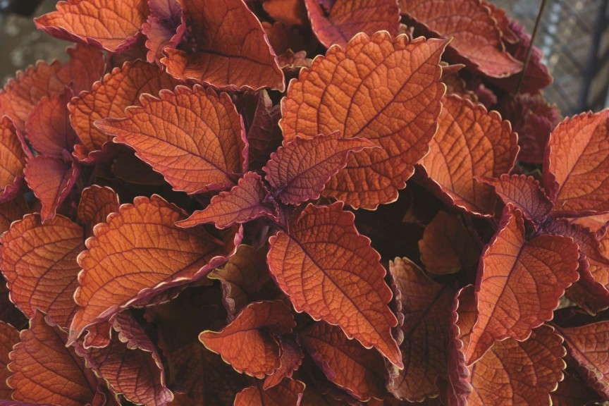 'Wall Street' Coleus from Dummen/Red Fox