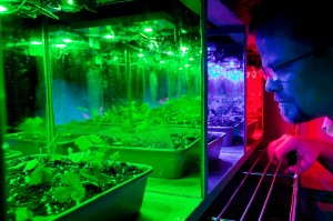 Kevin Folta said growers may eventually be able to synchronize an entire greenhouse of plants to flower at the same time just by flipping a switch for LED lights. Photo by Tyler Jones, UF/IFAS Photography