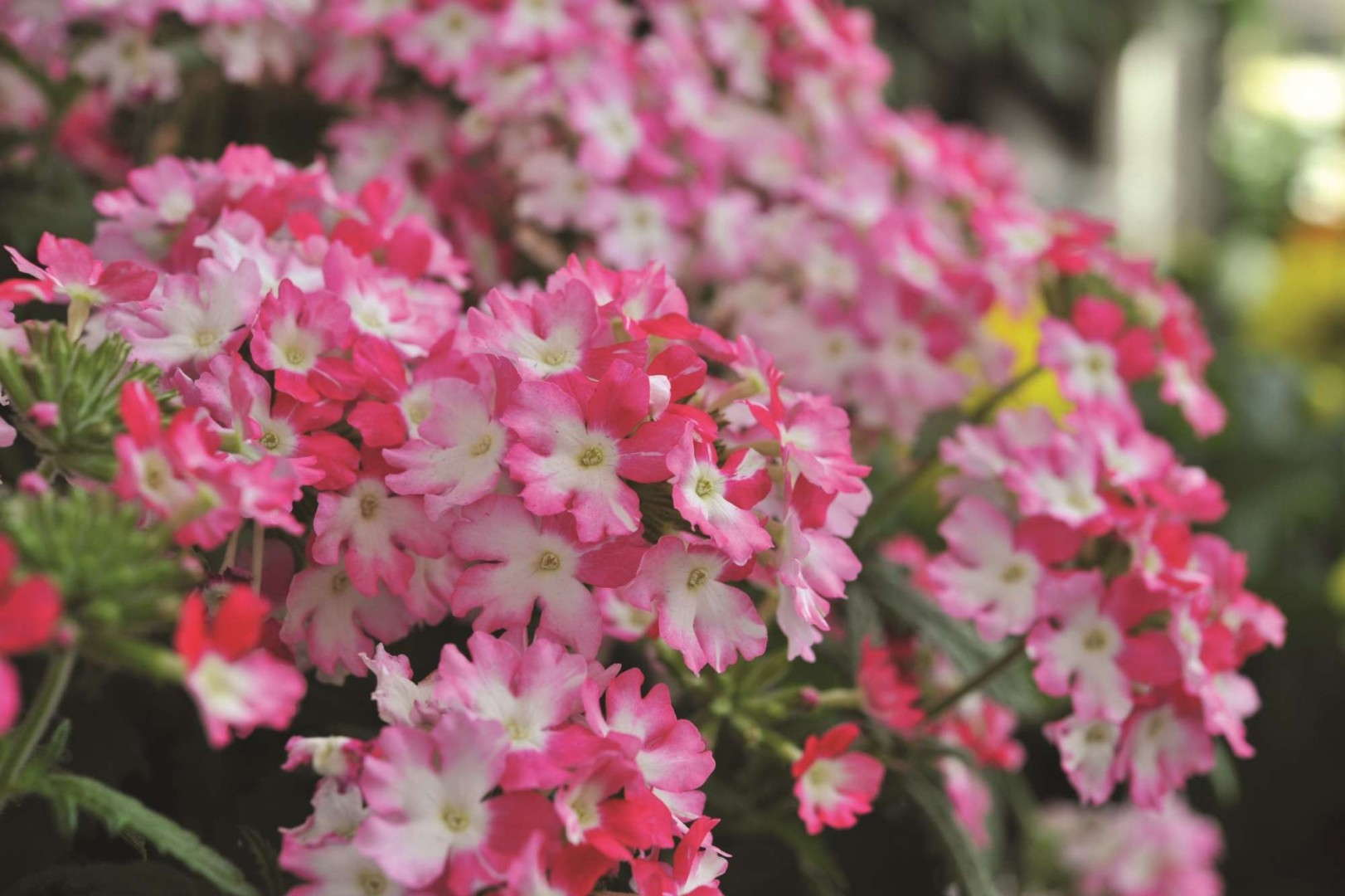 Verbena 'RED FOX Wicked Wicked Hot Pink'