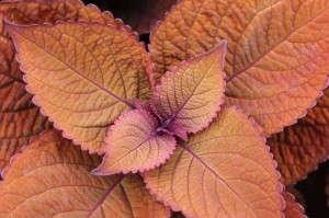 Coleus 'ColorBlaze Keystone Copper'
